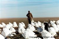 Snow Goose Hunter and Decoys