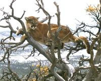 A mountain lion treed on the Uncompahgre Plateau in western Colorado. Lions are being trapped, tagged and tracked as part of a long-term research project. Photo by Ken Logan, DOW researcher.